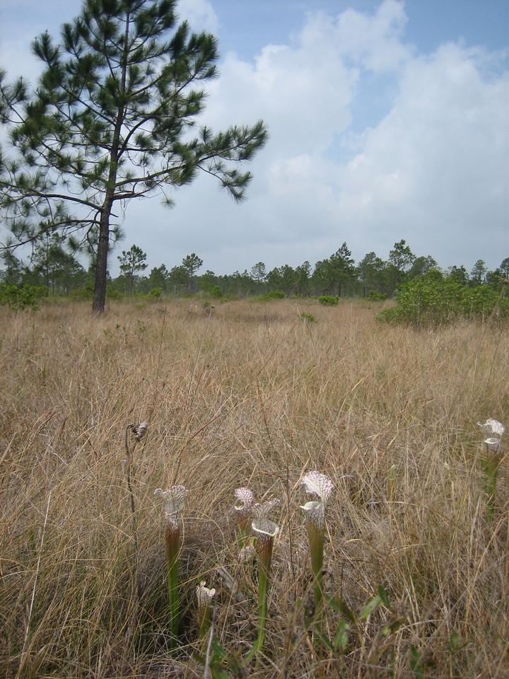 Pitcher plants at Garcon Point<br /> PHOTO CREDIT: Sandra Friend / Florida Trail Association