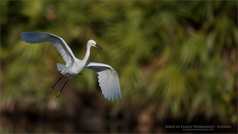 Snowy egret in Flight<br /> <br /> ray@raymondbarlow.com<br /> Nikon D810 ,Nikkor 600 mm f/4 ED<br /> 1/6400s f/4.0 at 600.0mm iso500