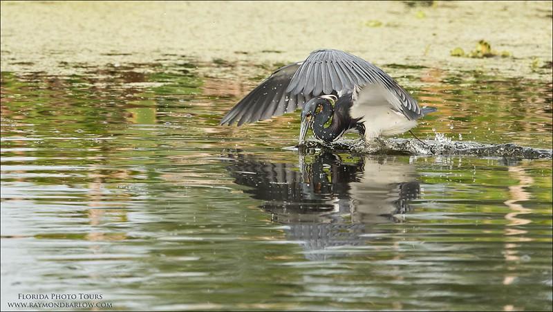 DSC_2956 Tricolored heron Fishing 1200 web