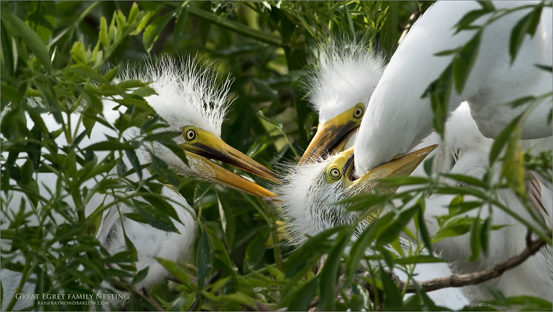 Great egret family Nest<br /> Raymond Barlow Photo Tours to USA - Wildlife and Nature<br /> <br /> ray@raymondbarlow.com<br /> Nikon D810 ,Nikkor 600 mm f/4 ED<br /> 1/2000s f/8.0 at 600.0mm iso1000