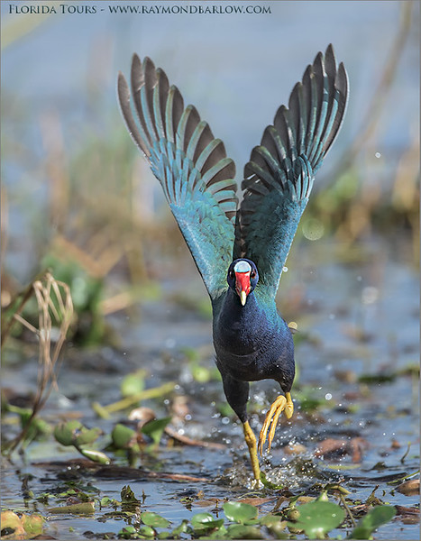 "Purple Gallinule Lift Off<br /> Raymond Barlow Photo Tours to USA - Wildlife and Nature<br /> <br />  <a href=""http://www.raymondbarlow.com"">http://www.raymondbarlow.com</a><br /> Nikon D810 ,Nikkor 600 mm f/4 ED<br /> 1/4000s f/4.5 at 600.0mm iso1600"