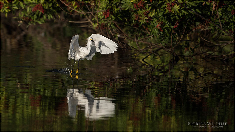 Snowy Egret in Flight<br /> Raymond Barlow Photo Tours to USA - Wildlife and Nature<br /> <br /> ray@raymondbarlow.com<br /> Nikon D810 ,Nikkor 600 mm f/4 ED<br /> 1/3200s f/4.0 at 600.0mm iso160