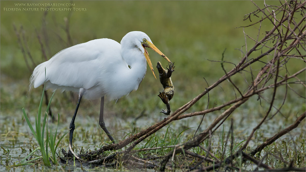 Great egret and Lunch<br /> Raymond Barlow Photo Tours to USA - Wildlife and Nature<br /> <br /> ray@raymondbarlow.com<br /> Nikon D810 ,Nikkor 600 mm f/4 ED<br /> 1/1000s f/7.1 at 600.0mm iso640