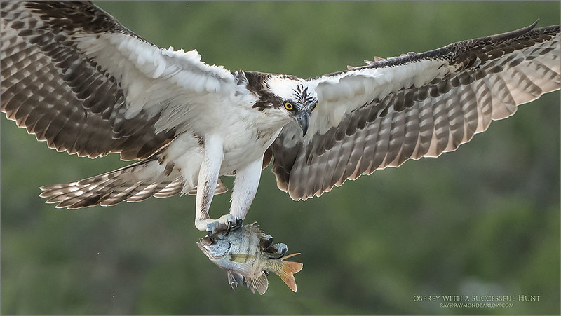 Osprey coming home with dinner!<br /> Florida!
