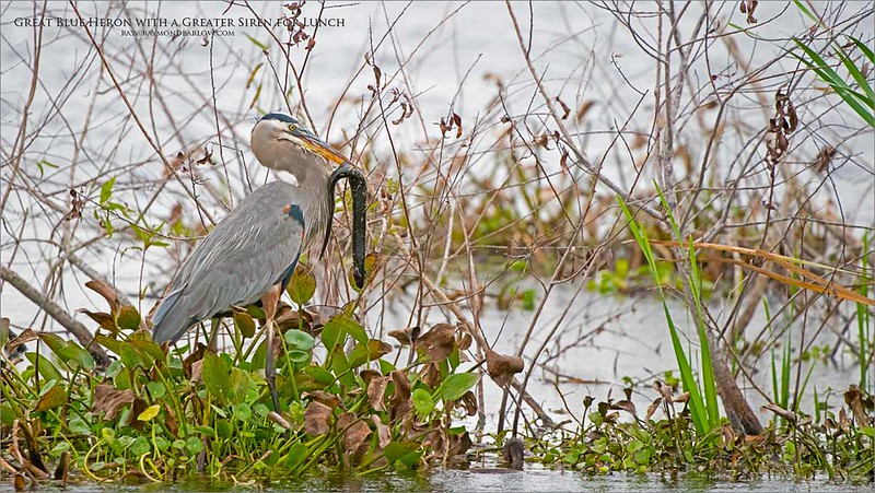 Great Blue Heron with a Greater Siren for Lunch<br /> Orlando, Florida<br /> <br /> ray@raymondbarlow.com<br /> Nikon D850 ,Nikkor 200-400mm f/4G ED-IF AF-S VR<br /> 1/1250s f/4.0 at 400.0mm iso1600