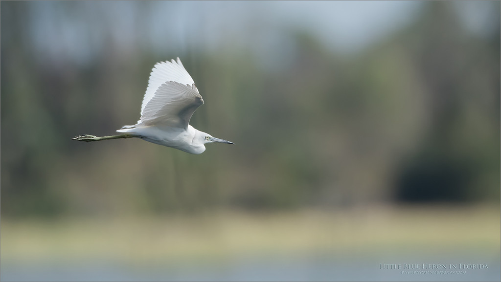 Little Blue Heron in Flight<br /> Raymond Barlow Photo Tours to USA - Wildlife and Nature<br /> <br /> ray@raymondbarlow.com<br /> Nikon D810 ,Nikkor 600 mm f/4 ED<br /> 1/5000s f/4.0 at 600.0mm iso800