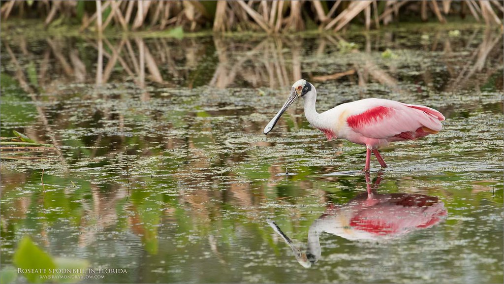 Roseate Spoonbill in Flight<br /> Raymond Barlow Photo Tours to USA - Wildlife and Nature<br /> <br /> ray@raymondbarlow.com<br /> Nikon D810 ,Nikkor 600 mm f/4 ED<br /> 1/1250s f/8.0 at 600.0mm iso1000