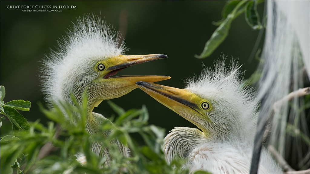 Great egret Chicks in Florida<br /> Raymond Barlow Photo Tours to USA - Wildlife and Nature<br /> Nikon D810 ,Nikkor 600 mm f/4 ED<br /> 1/1250s f/6.3 at 600.0mm iso400
