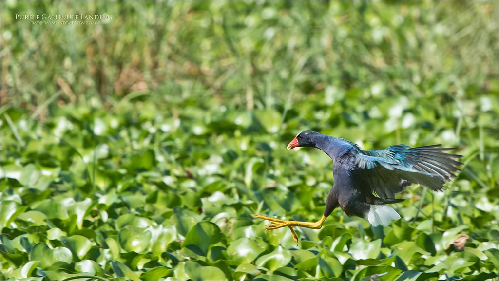 Love Florida!<br /> <br /> A great place for action photography, testing the limits of the D850.<br /> <br /> Purple Gallinule Landing<br /> Orlando, Florida<br /> <br /> ray@raymondbarlow.com<br /> Nikon D850 ,Nikkor 200-400mm f/4G ED-IF AF-S VR<br /> 1/1250s f/7.1 at 400.0mm iso500