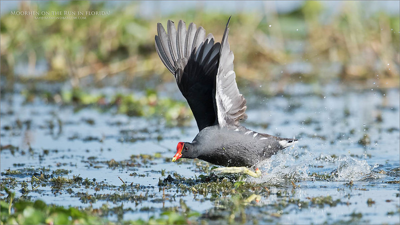 Moorhen in Florida on the Run<br /> Raymond Barlow Photo Tours to USA - Wildlife and Nature<br /> <br /> ray@raymondbarlow.com<br /> Nikon D810 ,Nikkor 200-400mm f/4G ED-IF AF-S VR<br /> 1/4000s f/4.0 at 600.0mm iso800