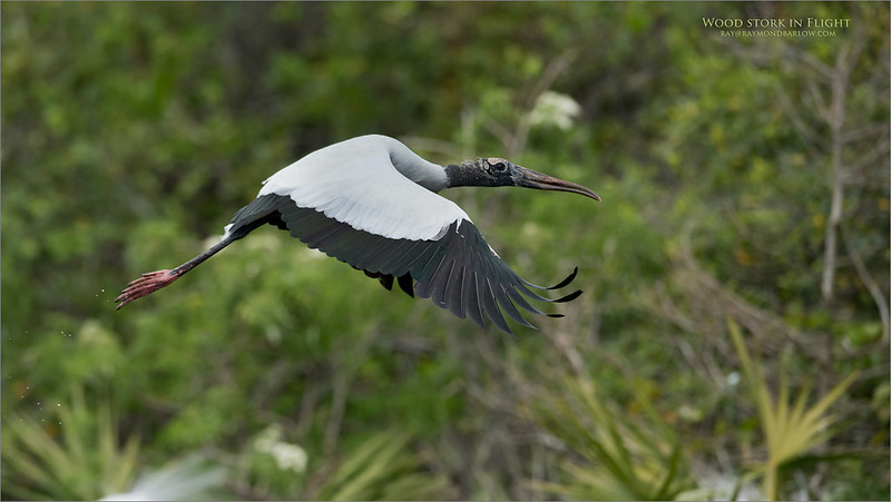 Wood stork in Flight<br /> Raymond Barlow Photo Tours to USA - Wildlife and Nature<br /> <br /> ray@raymondbarlow.com<br /> Nikon D810 ,Nikkor 600 mm f/4 ED<br /> 1/3200s f/5.0 at 600.0mm iso500