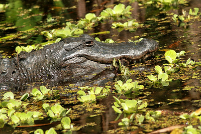 Alligator in the swampy waters of Florida
