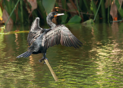 Double Breasted Cormorant