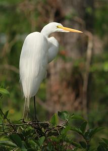 Snowy Egret Taken in The Everglades