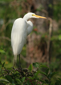 Snowy Egret Taken in The Everglades