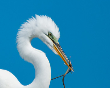 Egret with nesting materal