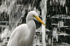 An egret in a fountain, Lake Eola, Orlando.