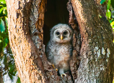 Newly Born Barred Owl