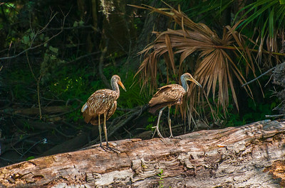 Limpkins on a Log
