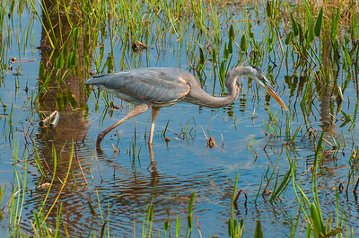 Blue Heron Stocking