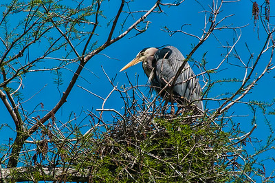 Nesting Blue Heron