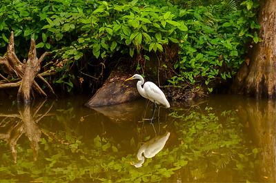 Great White Egret, Dora Canal