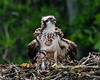Osprey guarding her chick, on a channel marker on the St Johns River