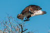 Osprey, Blue Cypress Lake