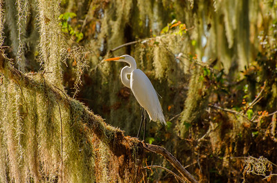 Egret in the Moss
