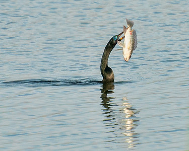 Anhinga with a Fish