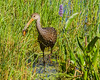 Limpkin with lunch