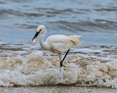 Snowy Egret with a fish