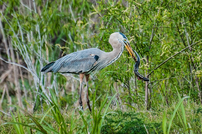 Blue Heron with a Salamander