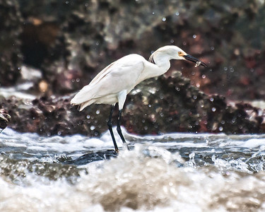 Snowy Egret with a snack