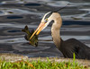 Great Blue Heron with lunch.  Lake Eola in Orlando.