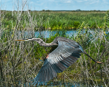 Great Blue Herson in Flight