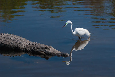 Great White Egret and an American Crocodile