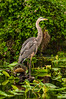 Blue Heron, St Johns River
