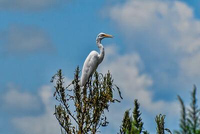 Great White Heron,Lake Jessup