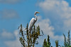 Great White Heron,Lake Jessup