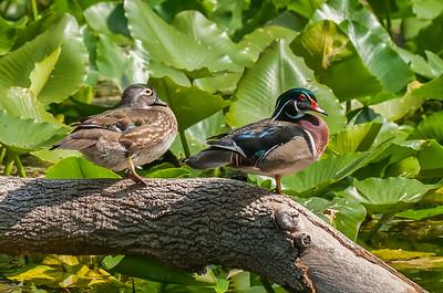 A Pair of Wood Ducks
