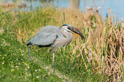 Blue Heron with a Catfish