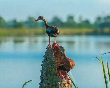 Blackbellied Whistling Ducks
