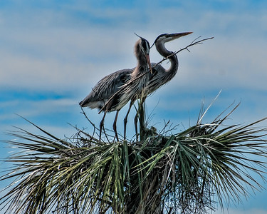 Grear Blue Herons