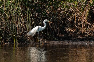 Peace River, Great White Egret