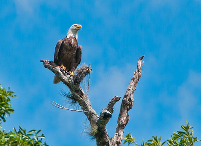 Bald Eagle on the St Johns RIver