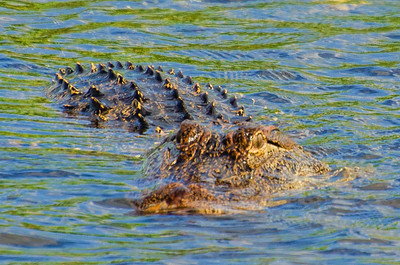 Alligator on the Move