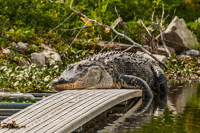 Sleepy Gator