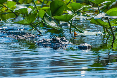 Alligator in the St Johns River