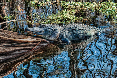 Sunning along a St Johns River Canal